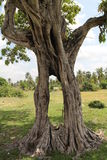 Tree. A strange tree with a cow in the background located near Phnom (mountain) Tamao zoo in Takeo province of Cambodia Stock Photography