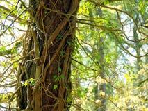 Tree strangled Royalty Free Stock Photo
