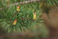Tree strobiles Royalty Free Stock Photos