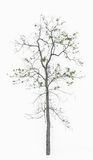 Tree Structure with Leaves Isolated on White Background Royalty Free Stock Photography