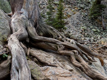 A tree struggles to find purchase in RMNP Stock Photos