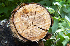 Tree stub Royalty Free Stock Photo