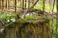 Tree stub with oxalis. Tree old cut off to stub in forest Stock Image
