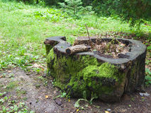 Tree stump. Tree stum in the forest stock photos