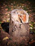 Tree Stump. Close-up on tree stump of cut tree Stock Photography