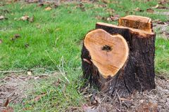 Tree stump. Shape of the heart Royalty Free Stock Photo