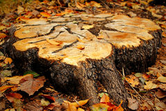 Tree stump Royalty Free Stock Image