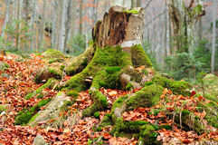 Tree stump. Old tree stump with roots covered in moss and fallen leaves, Stara Planina, Central Balkan National Park, Bulgaria Stock Image