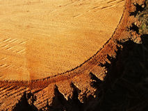 Tree stump. A log cut from a tree Royalty Free Stock Images