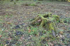 Tree stump in autumn forest Stock Image