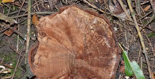 Tree stump, been cut down in the UK. Tree stump, been cut down by park ranger in the UK stock images