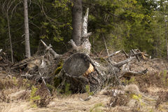 Tree stump. Big whimsy pine tree stump Stock Photography