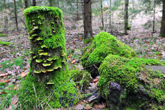 Tree Stump and Boulders Covered with Moss. Moss and fungus covered tree stump in forest. Moss covered boulders. Horizontal photo with copy space to the right Royalty Free Stock Images