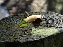 Tree stump. Brown leaf on a tree stump in autumn Stock Photos
