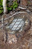 Tree Stump With Chainsaw Marks. An old tree stump cut low to the ground with lines scored across the surface with a chainsaw stock images