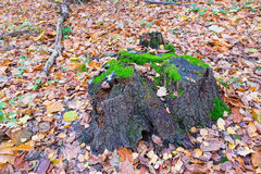 Tree stump covered with moss in the autumn forest Royalty Free Stock Photo