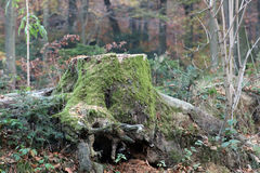 Tree stump covered by moss Royalty Free Stock Images