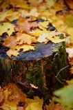 A tree stump covered with moss lichen in the fall leaves. The change of seasons.Autumn Royalty Free Stock Images