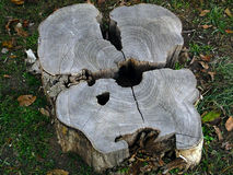 Tree Stump. Of a cut tree Royalty Free Stock Photo