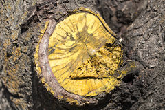 Tree stump from a cut branch Stock Photos