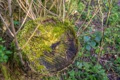 Tree stump. Cut tree stump covered in moss stock image