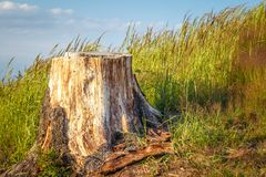 Tree stump of cut-out spruce. Tree stump of cut-out spruce on a grassy meadow Stock Photos