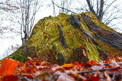 Tree stump, decaying Royalty Free Stock Photography