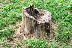 Stump on green grass or graden. The tree stump die on green grass floor on green graden royalty free stock photo
