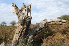 Tree stump in a dune landscape. Royalty Free Stock Image