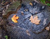 Tree Stump in Fall Royalty Free Stock Photography