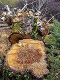 Tree stump, tree felling, wood pieces, cut trees cut to length of sawn royalty free stock photography