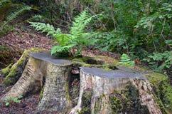 Tree stump fern Stock Images