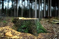 The tree stump of a fir tree. Forestry at work. The beautiful tree is gone. The stump of the recently cut fir tree remains in the forest. The yellow sawdust lies royalty free stock photos