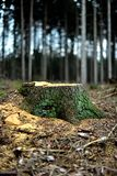 The tree stump of a fir tree. Forestry at work. Vertical. The beautiful tree is gone. The stump of the recently cut fir tree remains in the forest. The yellow stock image
