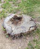Tree stump in the forest Royalty Free Stock Photography