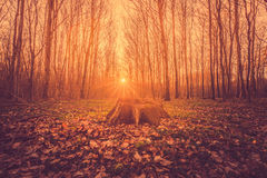 Tree stump in a forest sunrise Stock Image