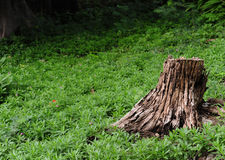Tree stump in forest Royalty Free Stock Photography