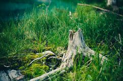 Tree stump in grasses Royalty Free Stock Image