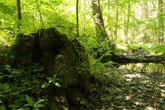 Tree stump on green forest floor Stock Photo