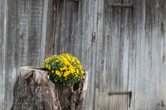 Tree stump growing out yellow flowers with wooden wall Stock Images
