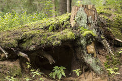Tree stump. With a little cave in the forest Royalty Free Stock Photo