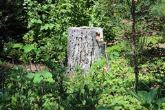 Tree Stump. A lone tree stump in the woods Stock Image