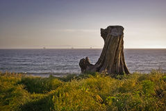 Tree Stump Looking Out to Sea. A tree stump on a grassy cliff looking out to the Pacific Ocean Royalty Free Stock Photo