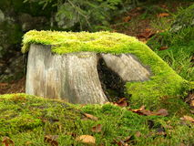 Tree stump with moss Royalty Free Stock Images