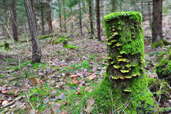 Tree stump with moss and fungus. Moss and fungus covered tree stump in forest. Horizontal photo with copy space to the left Royalty Free Stock Photo