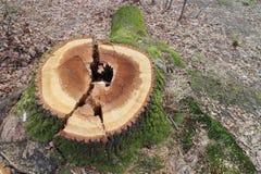 Tree stump with moss, Kačín Royalty Free Stock Photos