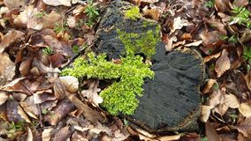 Tree stump. With Moss and leaves Royalty Free Stock Photos