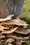 Tree Stump Mushrooms Stock Image
