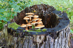 Tree stump with mushrooms and moss Royalty Free Stock Photos