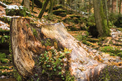 Tree stump in the nature reserve Monbachtal Royalty Free Stock Photos